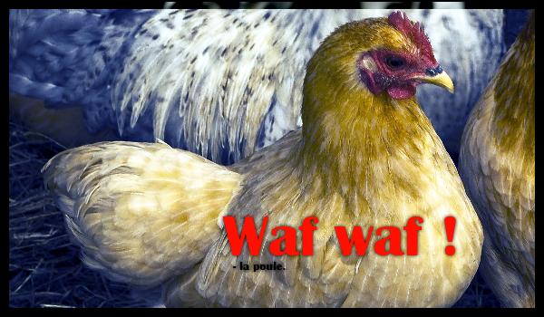 chien-carnivore-omnivore-poule-cereales