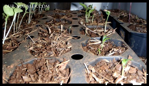 graines-poivrons-commerces-semences-fertiles